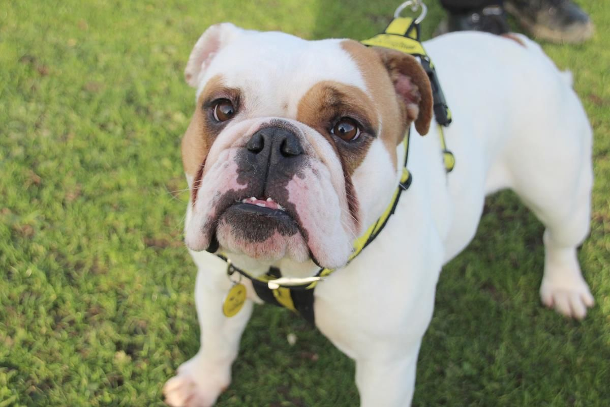 Adopt A Dog Mable Bulldog English Dogs Trust In 2020 Dogs English Dogs Dog Adoption