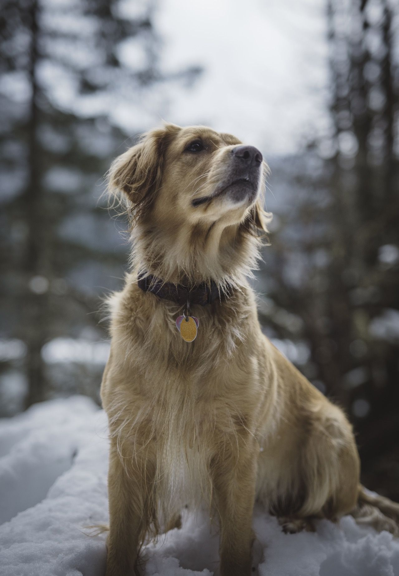 Dog Photography Lifestyle Golden Retriever North Cascades Mt