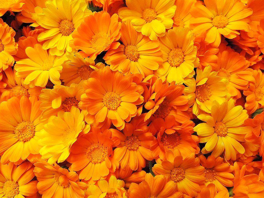 Fresh calendula marigold flowers | Marigold flower ...