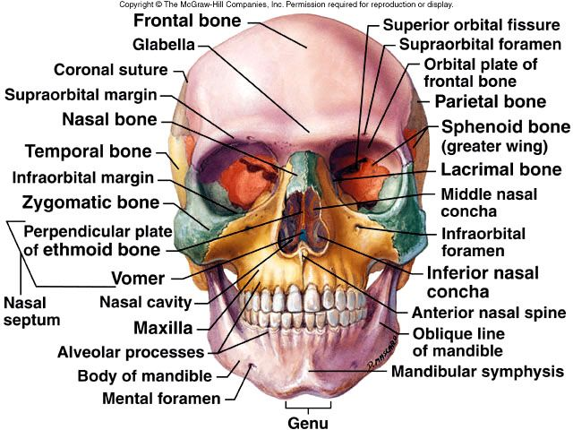 Skull diagram, lateral view with labels part 2 - Axial Skeleton ...