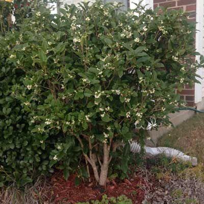 fragrant tea olive shrub garden