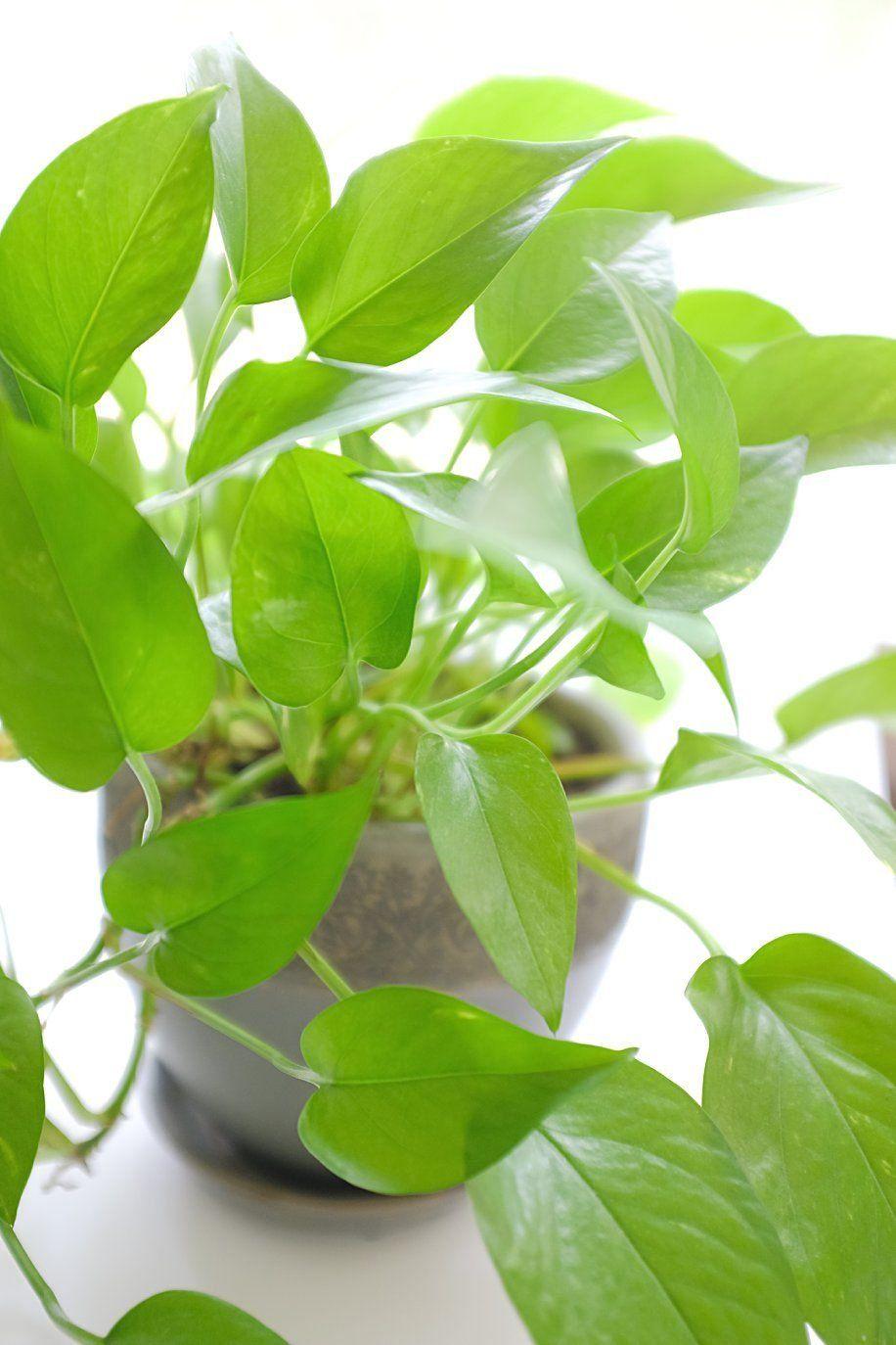 Pothos Plant Cats