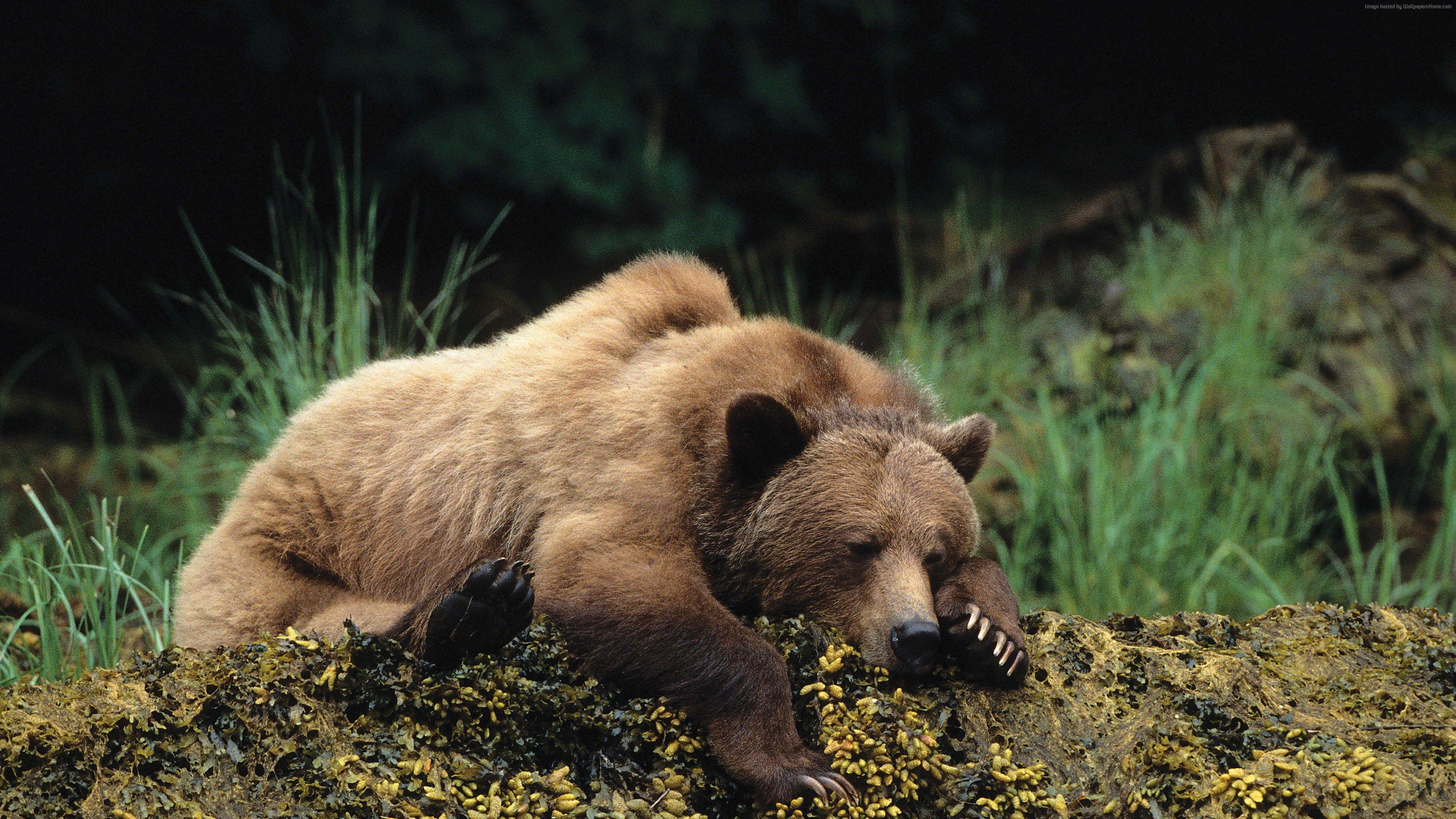 Wallpaper bear, cute animals, sleep, 4k, Animals Bear