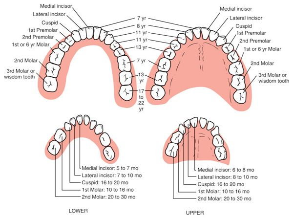 Eruption Of Permanent And Deciduous Teeth Dental Pinterest