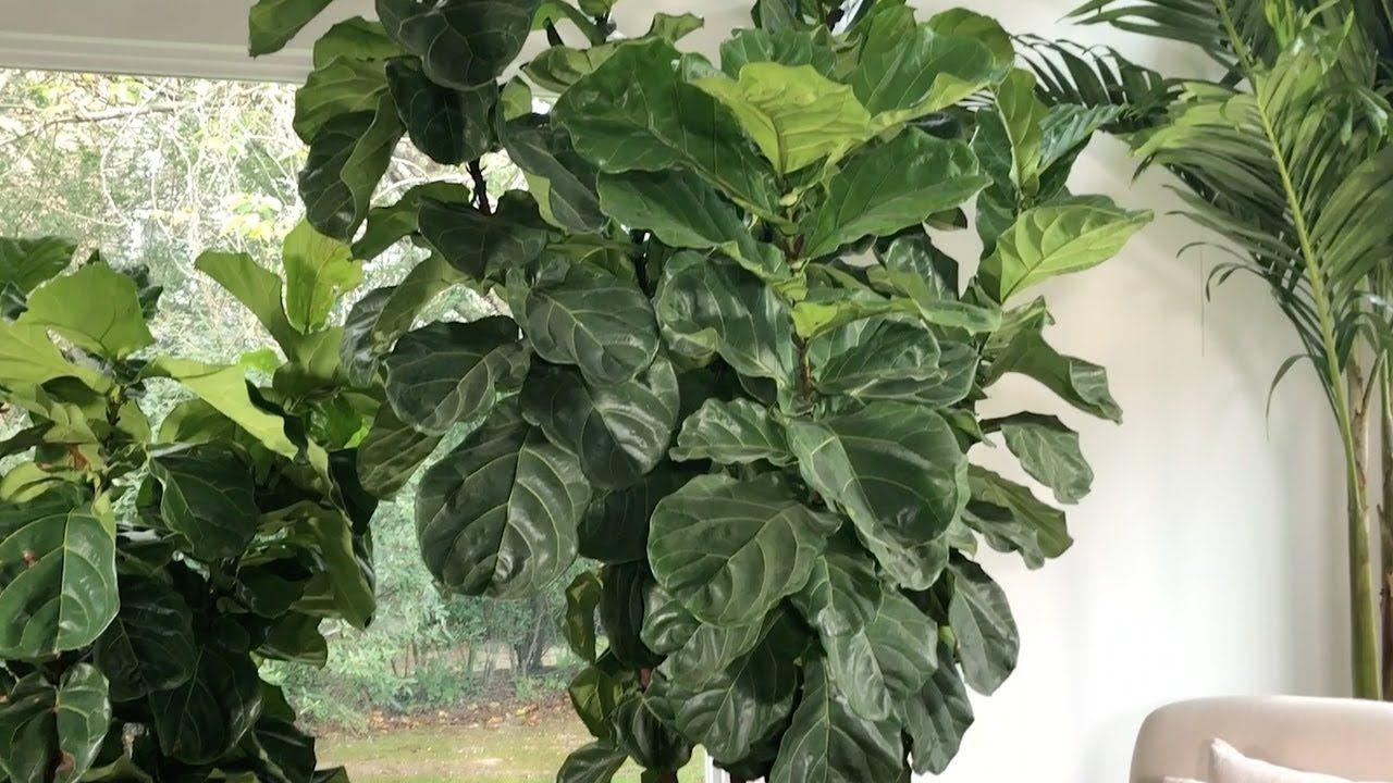 Fiddle Leaf Fig Care. Ficus lyrata PLANTERINA YouTube