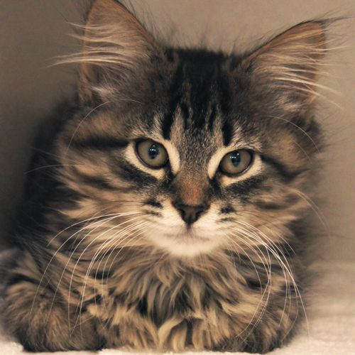 Adopted Wendell Is A 3 1 2 Month Old Neutered Male Tiger Striped Domestic Medium Hair Kitten Wendell Is A Beautiful Tiger Boy With Lucky Dogs Cats Dog Cat