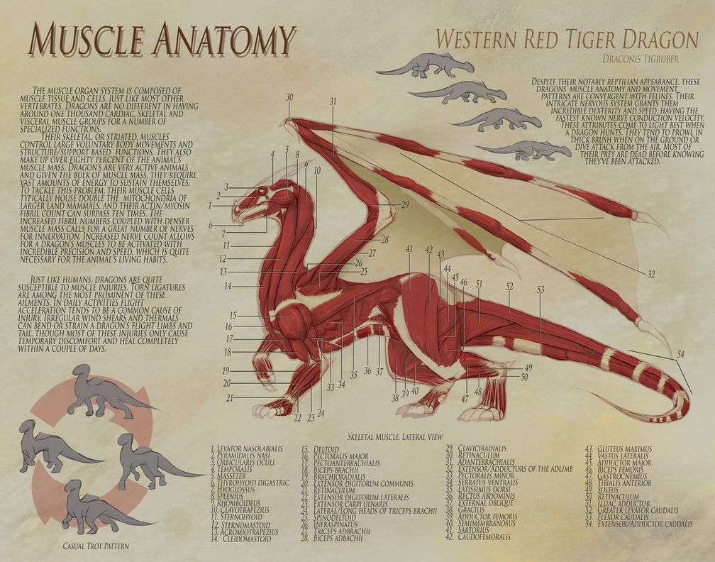 Dragon Anatomy Muscle By Uberkudzu On Deviantart Art And