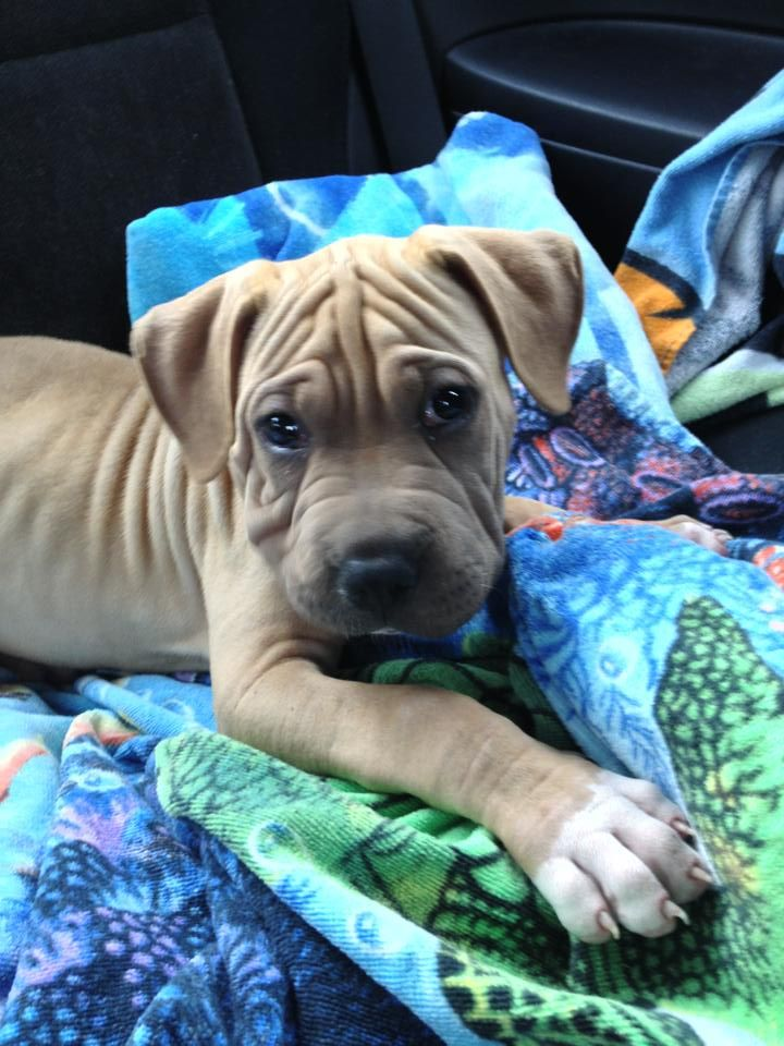 Boxer Shar Pei Mix About 6 8 Wks Old My Future Puppy Puppy