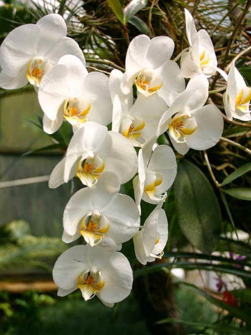 Phalaenopsis Amabilis Moon Orchid Moth Orchid Beautiful