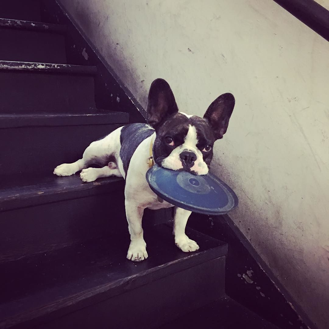 Mumm This Stairway Are Killing My Back Legs Frenchie