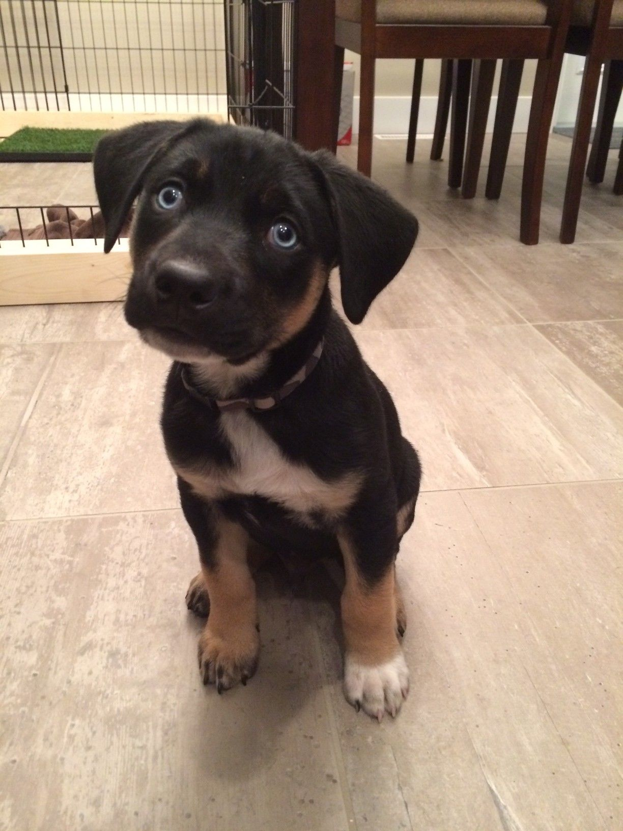 Lab Rottweiler Mix Blue Eyes Rottweiler Mix Lab Dogs Puppies