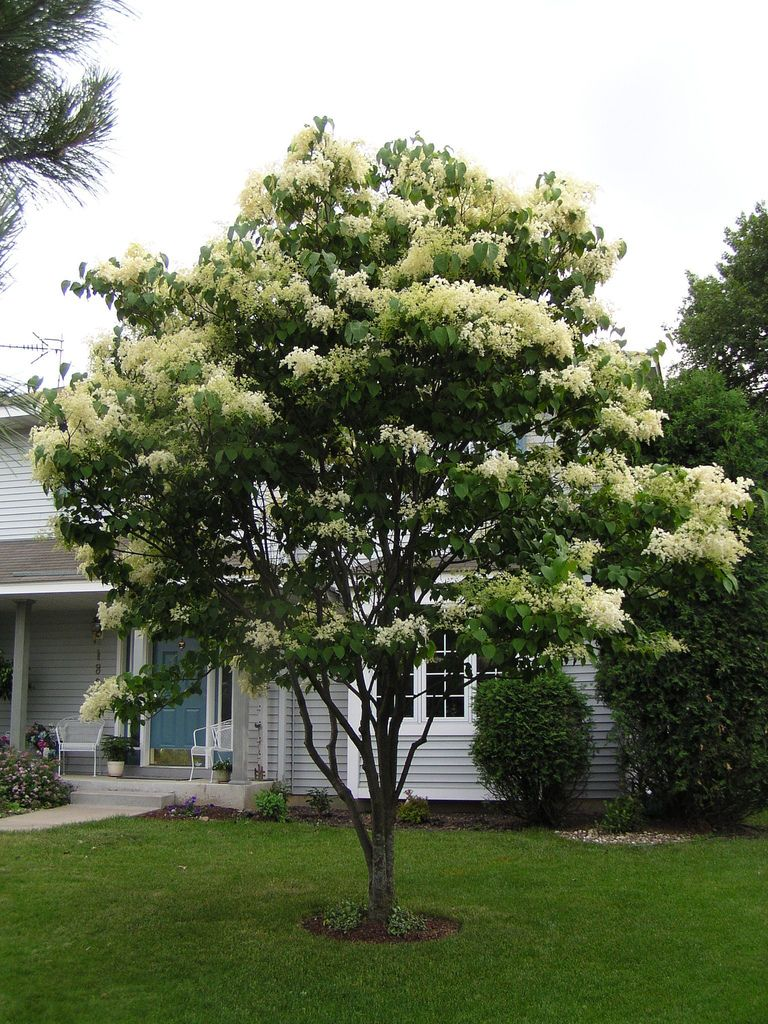 Japanese Lilac Tree In Bloom Japanese Lilac Tree Lilac Tree White Lilac Tree