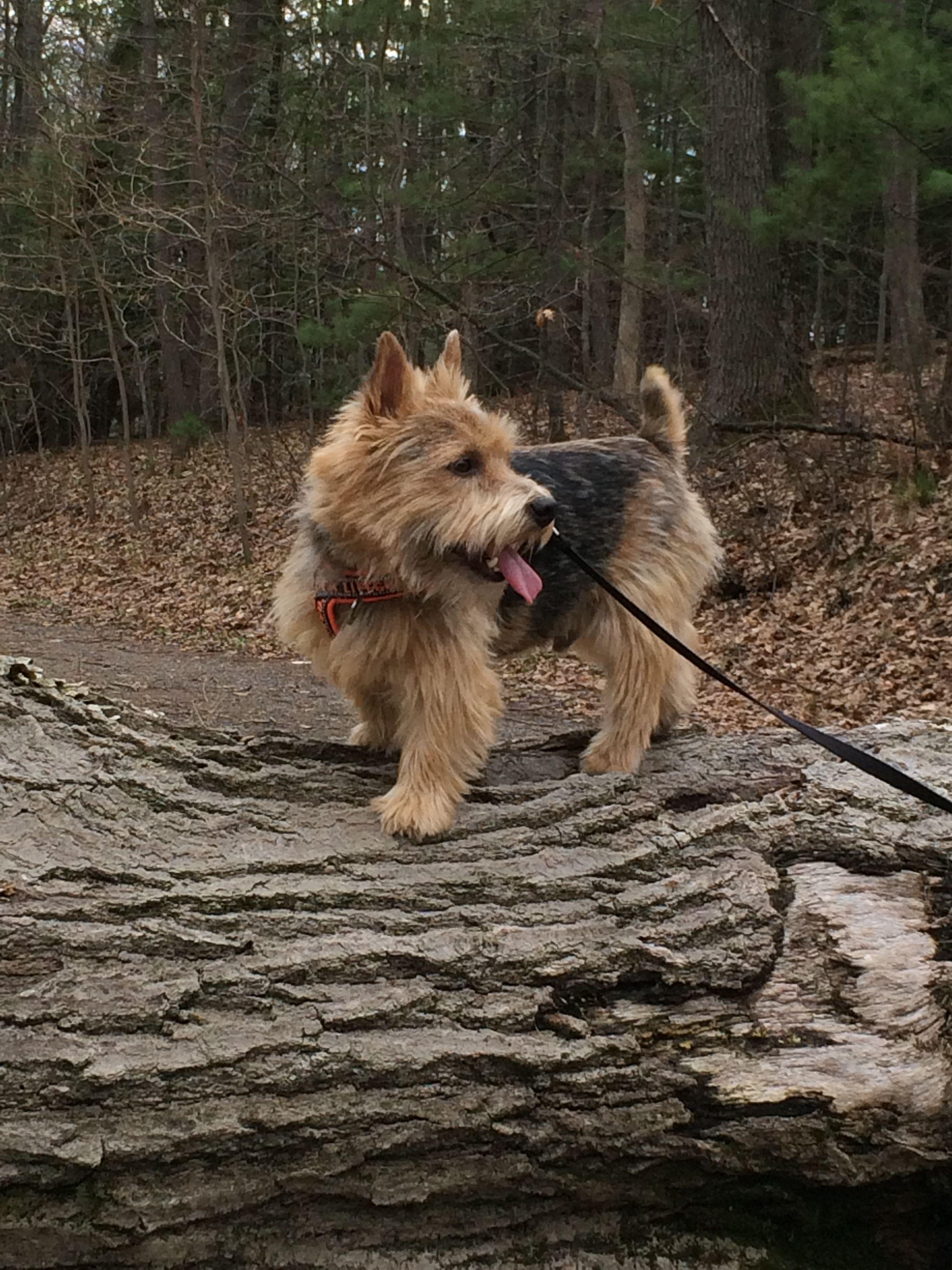Pin By Ellie Maziekien On Cairn Terriers Norwich Terrier Norfolk Terrier Terrier