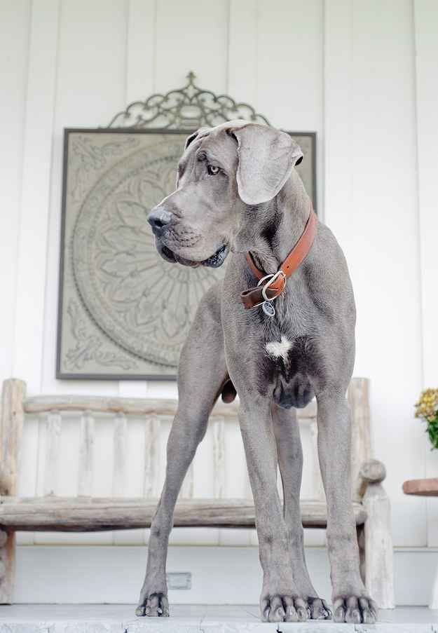 Growth Problems In Great Danes Great Danes Dane Puppies Great