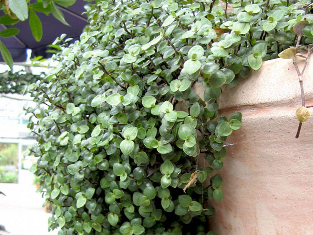 Callisia Repens Turtle Vine Planting Succulents Plants