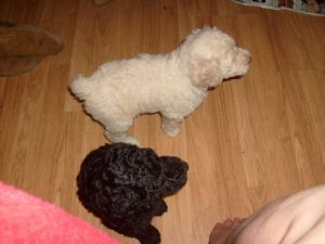 Standard Poodles For Sale Nc Puppies For Sale Standard Poodles