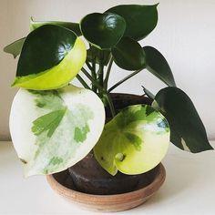 peperomia polybotrya variegated | Peperomia plant,