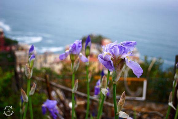 Iris of Manarola