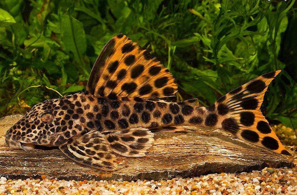 Garnelio De On Instagram L124 Catfish Ismet Ayrenski Catfish Plecos Plecobreeding Plecocave Plec Catfish Pleco Fish Freshwater Aquarium Fish