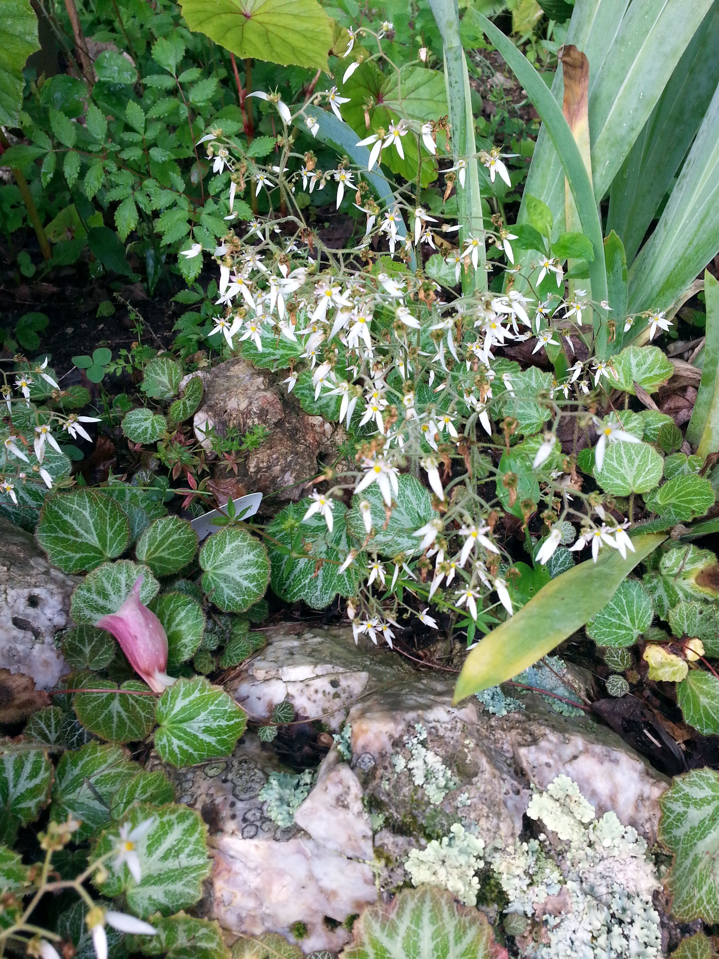 Saxifrage Or Strawberry Begonia Makes An Excellent Ground Cover Or