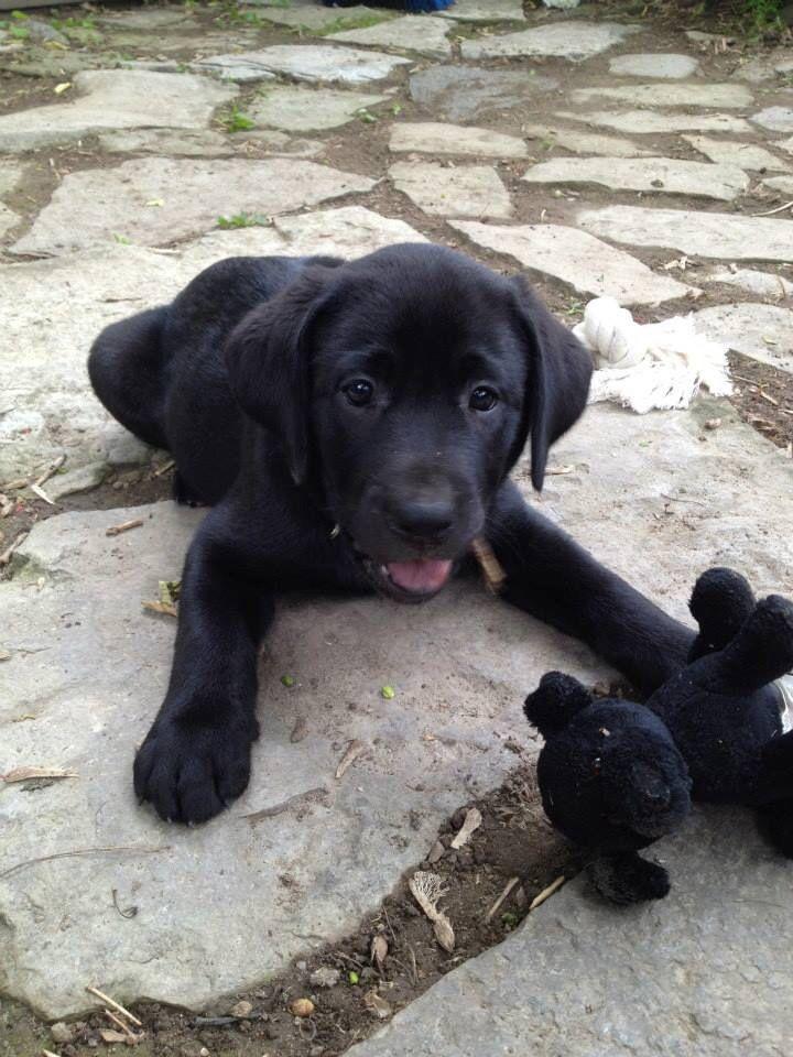 Female Black Lab Puppy Pretty Much The Best Labrador Retriever Black Lab Puppies Lab Puppies