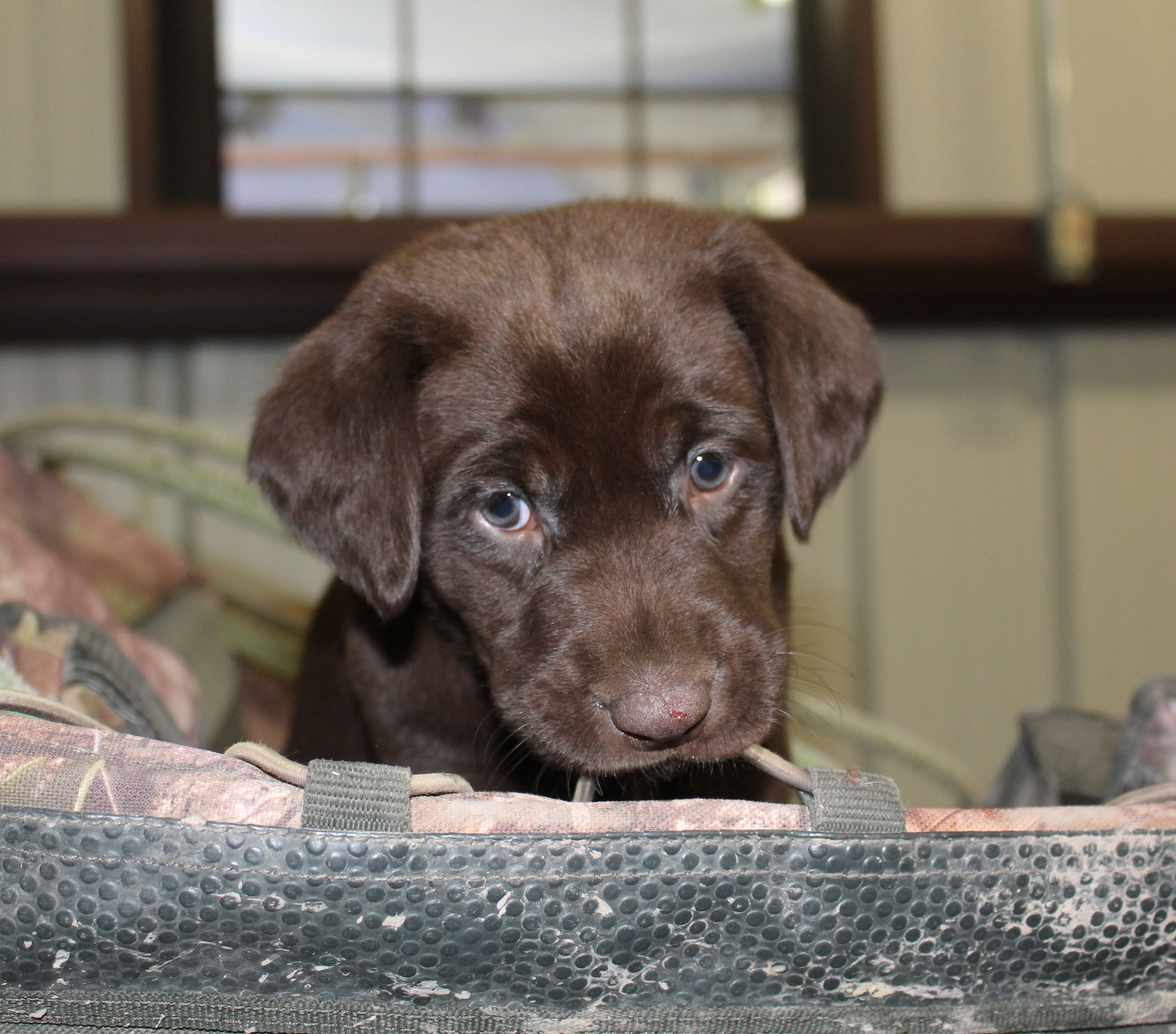 Chocolate Lab Puppies in Texas. Breeding quality