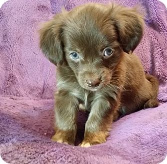 Lawrenceville Ga Dachshund Havanese Mix Meet Coby A Puppy For