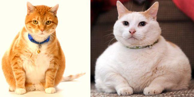 La obesidad en gatos puede provocar su muerte