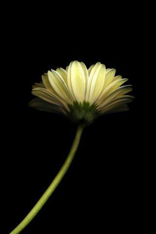 Dandelion Flower Black Background Iphone 6 Plus Hd Wallpaper