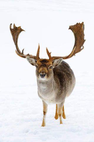 Damhirsch (Cervus dama) im Schnee, Bayern, Deutschland, Frontalansicht