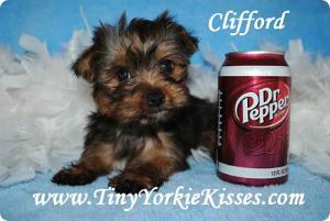 California Yorkies Yorkies For Sale Northern Ca Yorkie Yorkie Breeders Yorkie Puppy