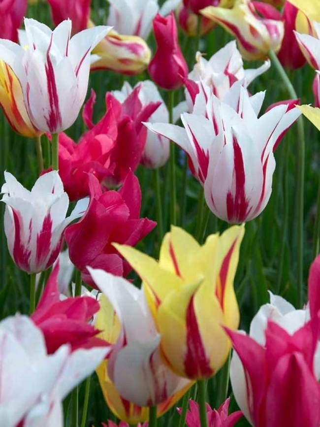 Tulip Elegant Lady Lily Flowering Tulips Tulips Flower Bulb Index Winter Flowers Garden Bulb Flowers Flowers