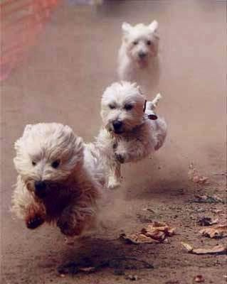 The 100m Westie final for the Olympic gold Westie dogs