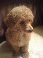 Poodle Wikipedia The Free Encyclopedia Toy At 10 Weeks