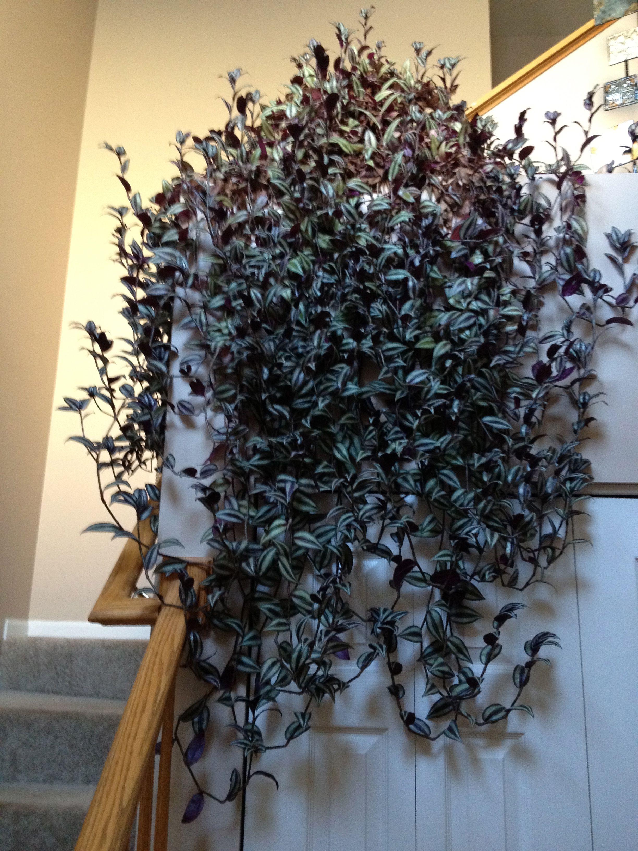 zebrina pendula wandering jew my plants wandering jew outdoor plants indoor plants. Black Bedroom Furniture Sets. Home Design Ideas
