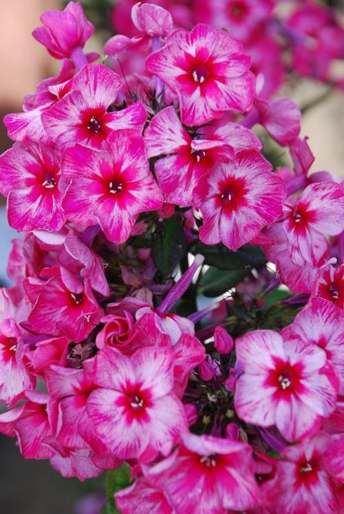 phlox paniculata tall garden phlox - Tall Garden Phlox