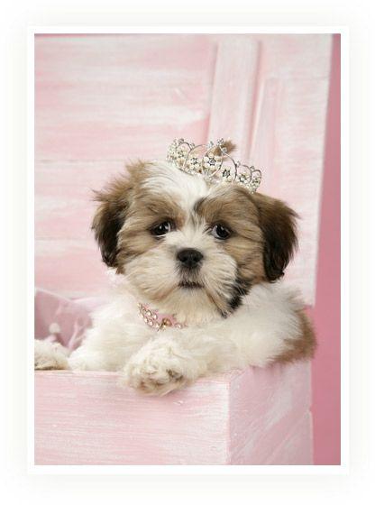 Shih Tzu Princess Oh My Gosh I Love My Shih Tzu But He Would Be A