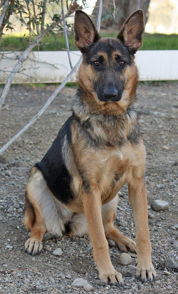 Pumpkin von Polk from Westside German Shepherd Rescue of