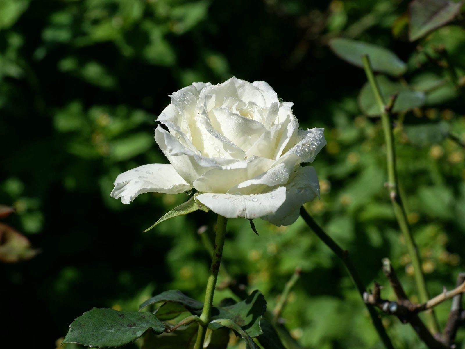 Mawar Putih Gambar Setangkai Bunga Mawar Putih Kumpulan Gambar