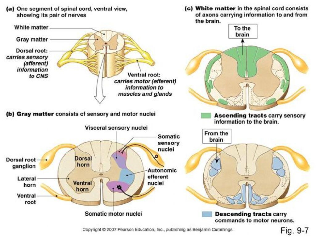 Image Result For Spinal Cord Cross Sections With Images