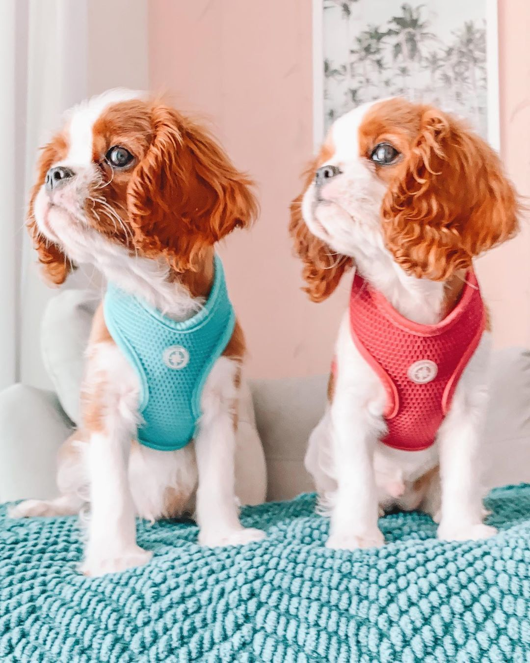 Tanner Tatum On Instagram Do You Like Our New Outfits Ca In 2020 King Charles Cavalier Spaniel Puppy Cavalier Dog Cavalier King Charles Spaniel