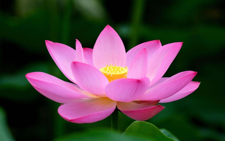 Beautiful Flowers Beautiful Lotus Flower Shades Of Pink