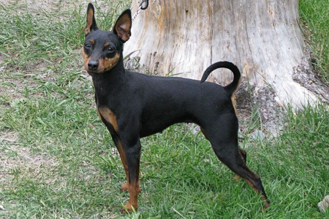 Miniature Pinscher Miniature Pinscher Puppy Miniature Pinscher
