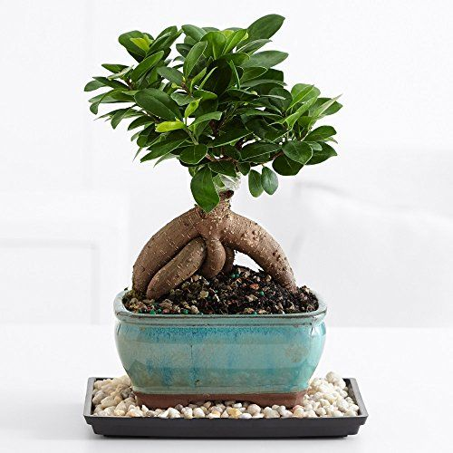 Proflowers Ginseng Grafted Ficus Bonsai Bonsai Trees For Sale Ficus Bonsai Tree Bonsai Tree Types
