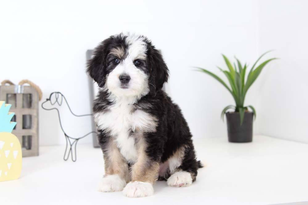 Park Art|My WordPress Blog_Goberian Puppies For Sale Florida