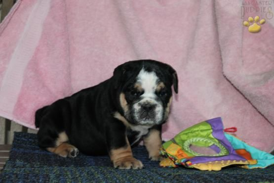 Zeena English Bulldog Puppy For Sale In Lancaster Pa
