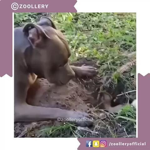 Well who said pitbulls were aggressive. Watch this cute video of the dog just trying to help his mate dig a hole. #cutedogs #cutedogvideos #funnydogs #dogsofinstagram #pitbulls