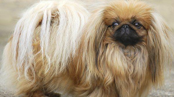 собаки породы пекинес