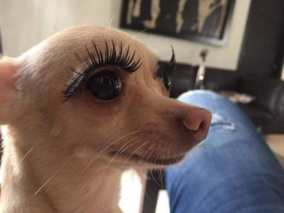 Ayyyyyyy Chihuahua