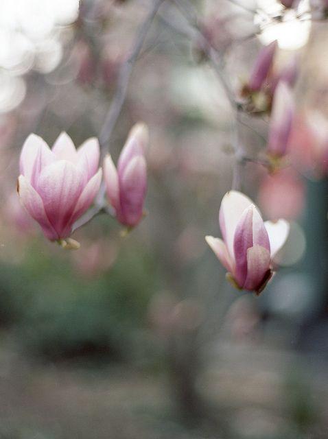 Alice Magnolia Beautiful Flowers Flower Cart
